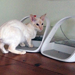 """My young cats Wilfred (seal point siamese) and Arthur (red point tabby siamese) love their..."