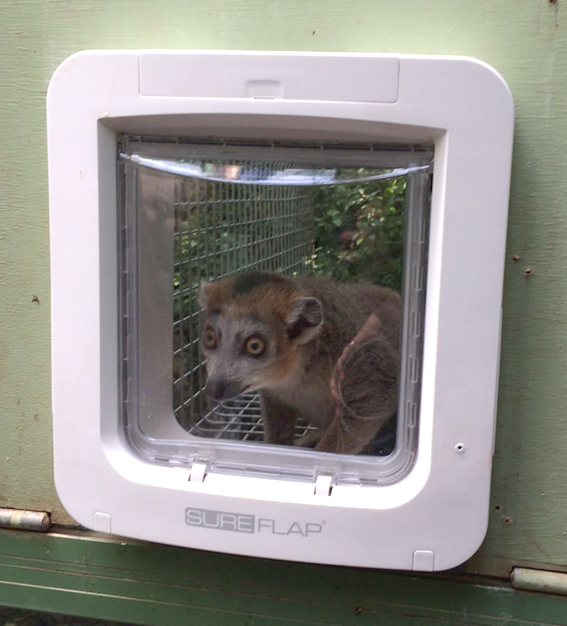 Crowned Lemur Can't Get Into Microchip Pet Door
