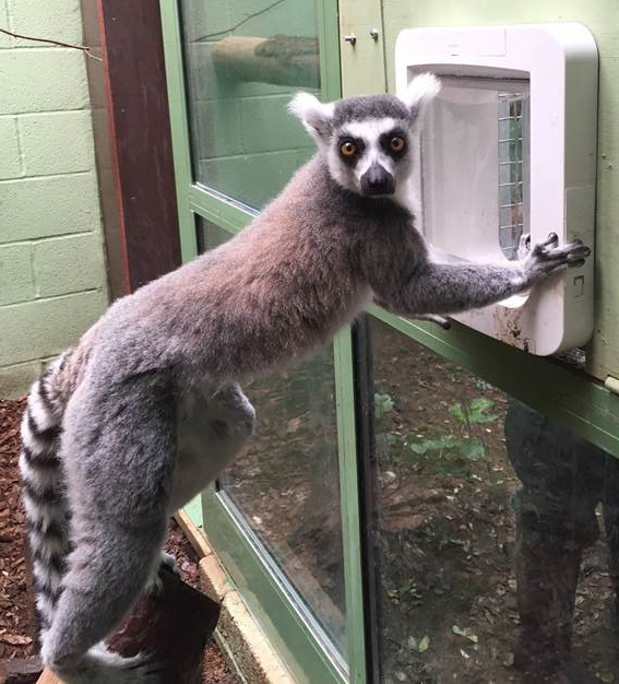 Ring-tailed Lemur using Microchip Pet Door