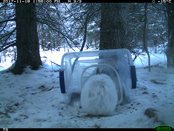 Snowshoe hare using a SureFeed Microchip Pet Feeder in the day