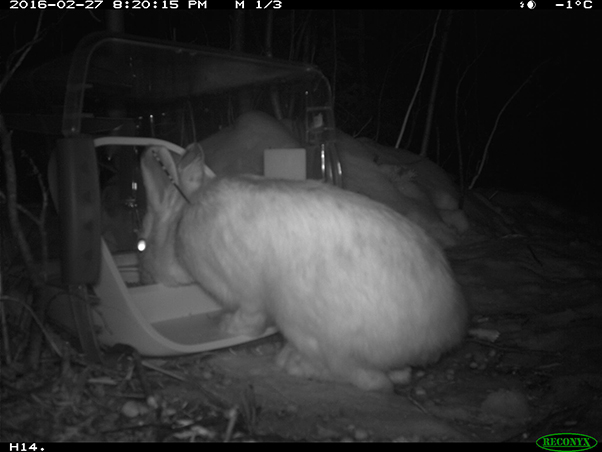 Snowshoe hare using a SureFeed Microchip Pet Feeder at night